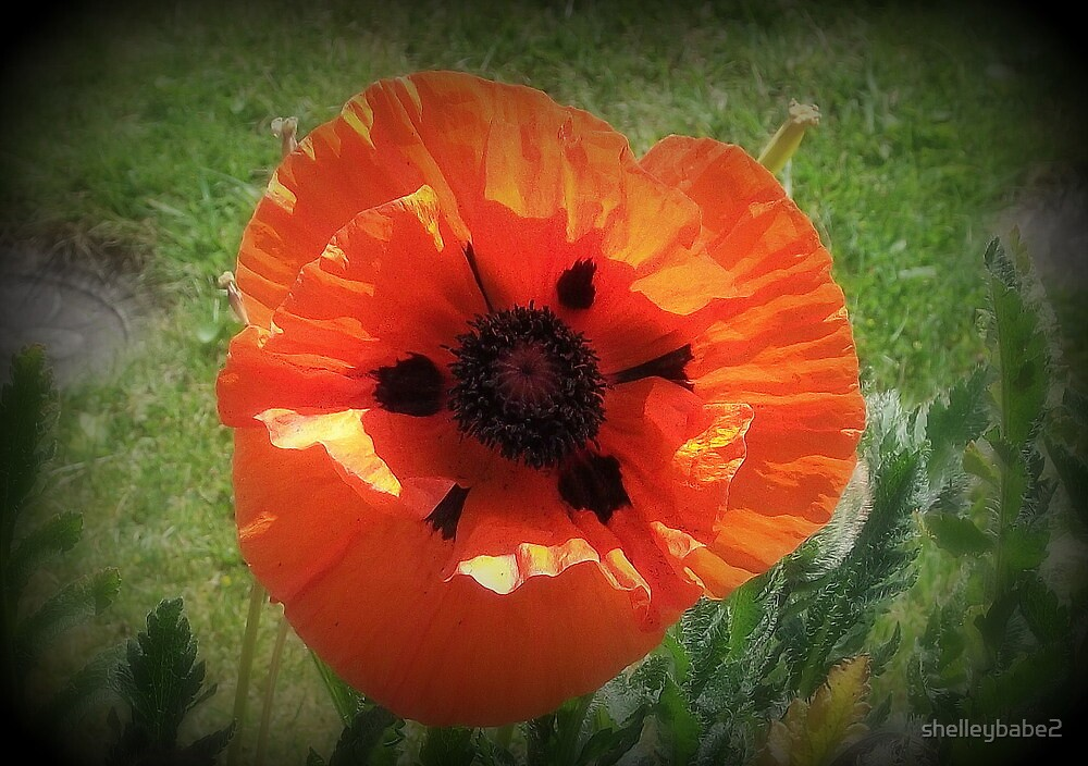 A giant poppy by shelleybabe2
