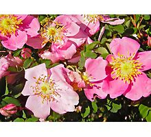 Governor General's Rose 4 Photographic Print