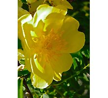 Governor General's Rose 9 Photographic Print