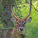 Waterbuck by Dan MacKenzie
