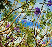 Jacaranda in flower by Thomas Tolkien