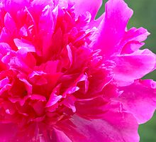 Pink Peony Vision by daphsam