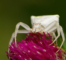 crab spider by davvi