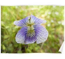 Vilot Flower Poster