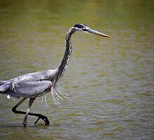 Blue Heron on the Hunt by Saija  Lehtonen