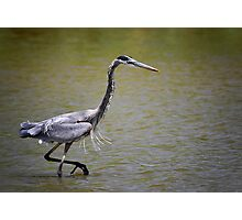 Blue Heron on the Hunt Photographic Print