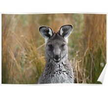 Eastern Grey Gray Kangaroo Poster