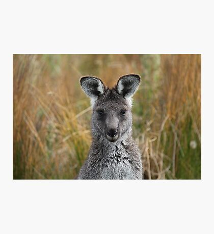 Eastern Grey Gray Kangaroo Photographic Print