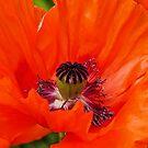 Papaver orientale (Oriental poppy)  by jules572