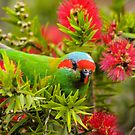 Musk Lorikeet by Kerryn Ryan, Mosaic Avenues