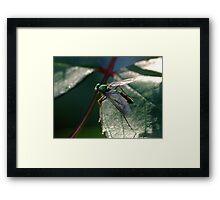 A Fly Of Such - Chrysosoma leucopogon Framed Print