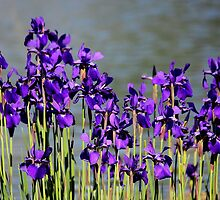 Waterside Iris's by Rosanne Jordan