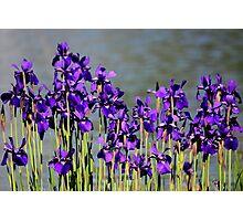 Waterside Iris's Photographic Print