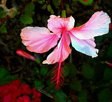Especially bright hibiscus by ?? B. Randi Bailey