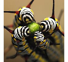 Caterpillars Photographic Print