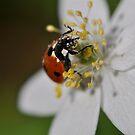 ladybird by Jari Hudd