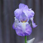 Iris I by phildesjardins