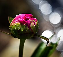 Peony bud after the rain  by KSKphotography