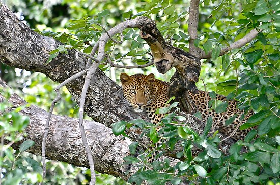 Leopard-Luwanga Valley Africa by vawtjwphoto