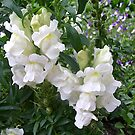 White snapdragon by Ana Belaj