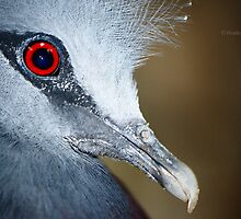 Victoria Crowned Pigeon Close Up by Heather King