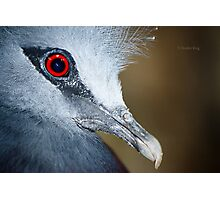 Victoria Crowned Pigeon Close Up Photographic Print