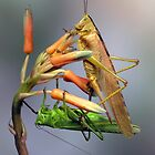 Katydids by jimmy hoffman