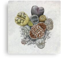 Lithops Cluster (No Labels) Canvas Print