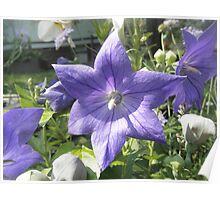 Balloon Flower  Poster