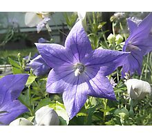 Balloon Flower  Photographic Print