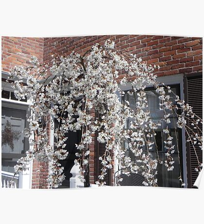 BLOSSOMING ORIENTAL CHERRY TREE Poster