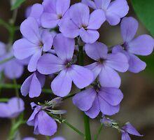 Purple Phlox by vigor
