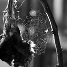 Dead Sunflower and Spider Web by Danielle  La Valle