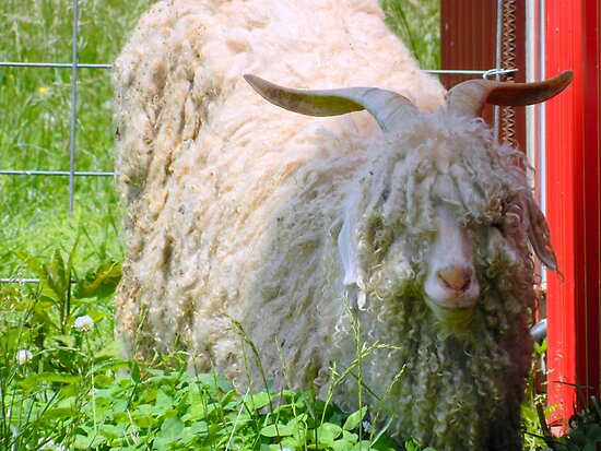Mr. Shaggy Sheep  ^ by ctheworld