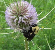 Bumblebee Dining on Thistle Flowers by Ron Russell
