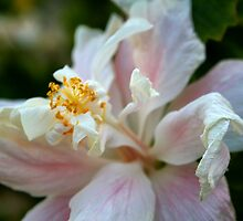 Hibiscus II by ZWC Photography