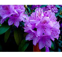 Rhododendron Bloom Photographic Print