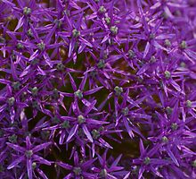 Purple Allium by peterrobinsonjr