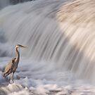 Great Blue Heron by Josef Pittner