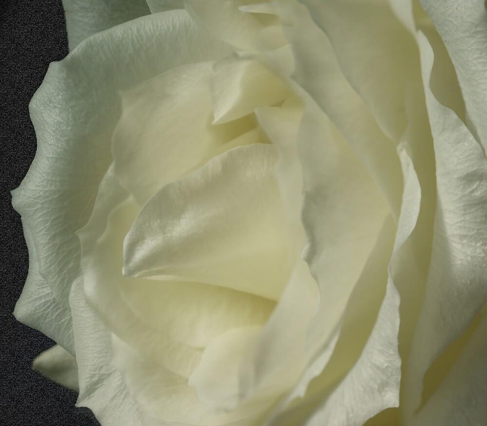 *** ELEGANT MODESTY ~ WHITE ROSE *** by JETAdamson
