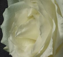 *** ELEGANT MODESTY ~ WHITE ROSE *** by JETAdamson