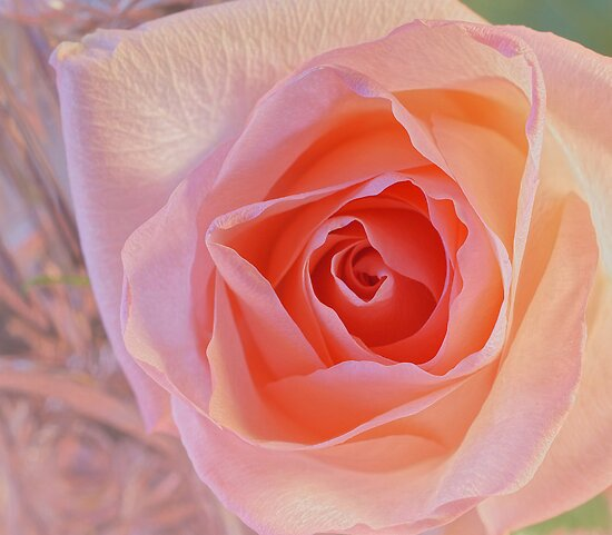 ***  JOYFUL DELIGHT ~ PINK ROSE  *** by JETAdamson