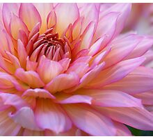 ***  FOREVER YOURS ~ PINK DAHLIA *** Photographic Print