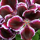 *** ROYAL RED-VELVET ~ PELARGONIUM *** by JETAdamson