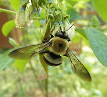 Bumblebee On Blueberry Flower by ack1128