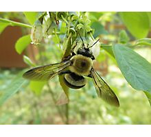 Bumblebee On Blueberry Flower Photographic Print