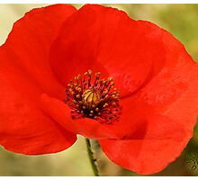 ***  PASSIONATE COURAGE ~ POPPY PAPAVER*** Photographic Print