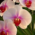 *** REFINEMENT AND CHARM ~ ORCHID PHALAENOPSIS *** by JETAdamson