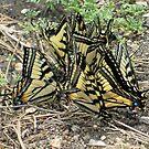 Butterflies 3 by RichPicks