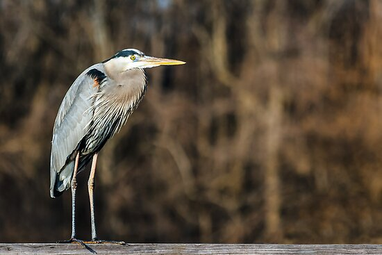 Great Blue Heron by Kenneth Keifer